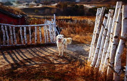 桦树木头篱芭和狗 免版税库存图片