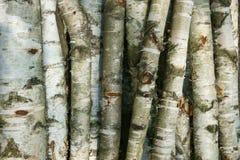 桦树木头纹理 免版税库存图片