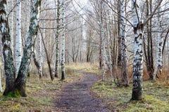 桦树木头 库存照片