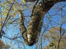 桦树枝杈复杂地扭转的膝盖 免版税库存照片