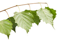 桦树枝杈 免版税库存照片