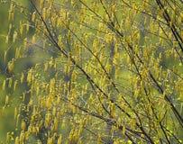桦树柔荑花在春天 免版税库存图片