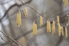 桦树柔荑花 免版税图库摄影