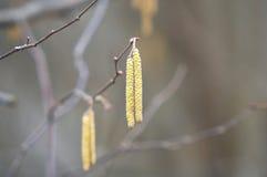桦树柔荑花 免版税库存图片