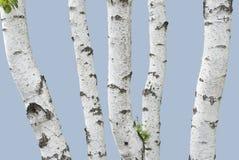 桦树查出树干 免版税图库摄影