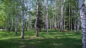 桦树树丛在一个晴天 疗养院'Uglich' 库存图片