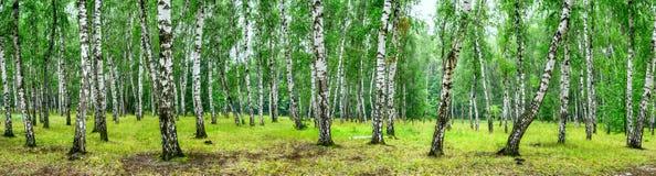 桦树树丛在一个晴朗的夏日,风景横幅 库存照片