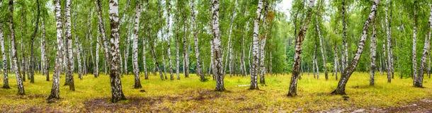 桦树树丛在一个晴朗的夏日,风景横幅 免版税库存照片