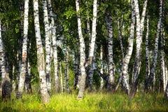 桦树树丛在乌拉尔 免版税图库摄影