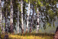桦树树丛在乌拉尔 图库摄影