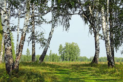 桦树树丛在乌拉尔 库存照片