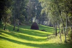 桦树树丛在乌拉尔 库存图片