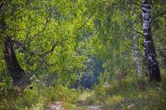 桦树树丛在乌拉尔 免版税库存照片