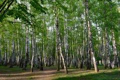 桦树树丛在俄罗斯 免版税库存图片