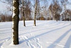 桦树树丛在冬天 免版税库存图片