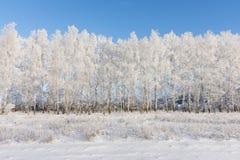 桦树树丛在冬天 免版税图库摄影