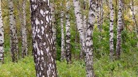 桦树树丛在城市公园 库存照片