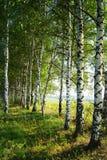 桦树树丛在早晨内 库存照片