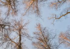桦树树丛在春天 免版税库存照片