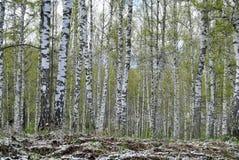 桦树树丛在春天 免版税库存图片