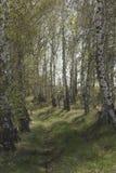 桦树树丛在春天 图库摄影