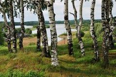 桦树树丛在河背景中  库存照片