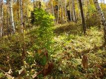 桦树树丛在秋天 库存图片