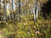 桦树树丛在秋天 免版税库存图片
