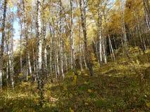 桦树树丛在秋天 库存照片