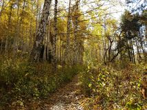 桦树树丛在秋天 免版税图库摄影
