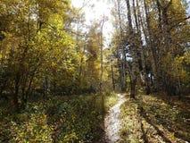 桦树树丛在秋天 图库摄影