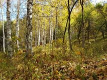 桦树树丛在秋天 免版税库存照片