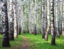桦树树丛在第一天秋天 免版税库存图片