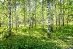 桦树树丛在自然公园当夏天风景 库存照片