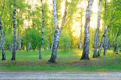 桦树树丛在黎明,阳光,森林公路 免版税库存照片