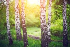 桦树树丛在黎明 免版税库存图片