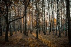 桦树树丛城市 免版税库存照片