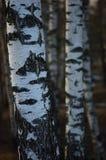 桦树树丛树干吠声特写镜头背景,大详细的垂直的桦树3月风景场面,农村早期的春季 免版税图库摄影