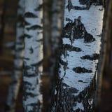 桦树树丛树干吠声特写镜头背景,大详细的垂直的桦树3月风景场面,农村早期的春季 免版税库存图片