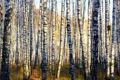 桦树树丛的平行 免版税库存图片