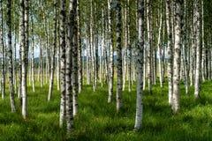 桦树树丛的美好的夏天视图与绿草的 库存图片