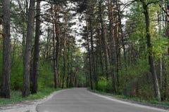 桦树树丛路森林 免版税库存照片