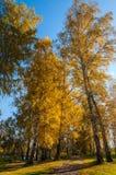 桦树树丛路秋天 免版税库存照片