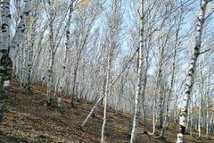 桦树树丛银 免版税库存照片
