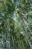 桦树树丛风景在春天 免版税库存照片