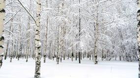 桦树树丛 免版税库存照片