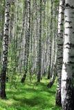 桦树树丛 库存照片