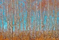 桦树树丛 库存图片