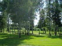 桦树树丛 图库摄影