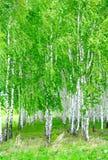 桦树树丛 免版税图库摄影